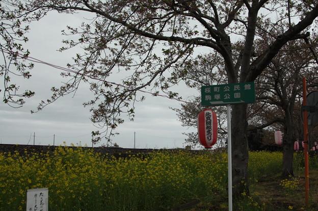 北真岡の桜・菜の花の横を通過するSLもおか 6002レ C12 66+50系客車 (3)