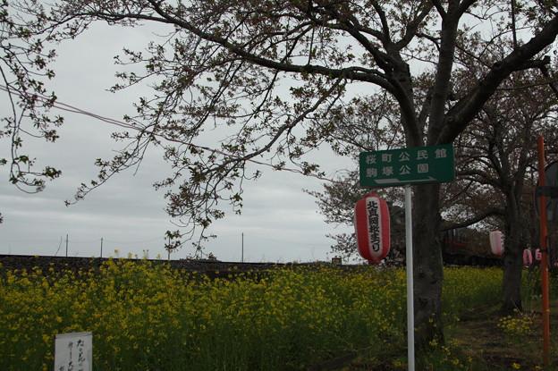 北真岡の桜・菜の花の横を通過するSLもおか 6002レ C12 66+50系客車 (5)