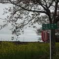 写真: 北真岡の桜・菜の花の横を通過するSLもおか 6002レ C12 66+50系客車 (5)