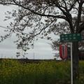 Photos: 北真岡の桜・菜の花の横を通過するSLもおか 6002レ C12 66+50系客車 (5)