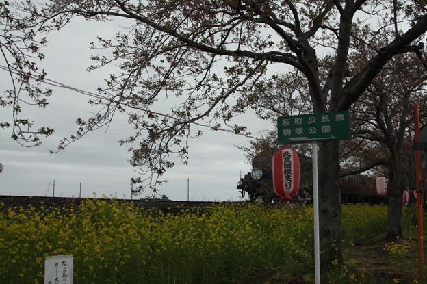 北真岡の桜・菜の花の横を通過するSLもおか 6002レ C12 66+50系客車 (6)