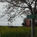 写真: 北真岡の桜・菜の花の横を通過するSLもおか 6002レ C12 66+50系客車 (6)