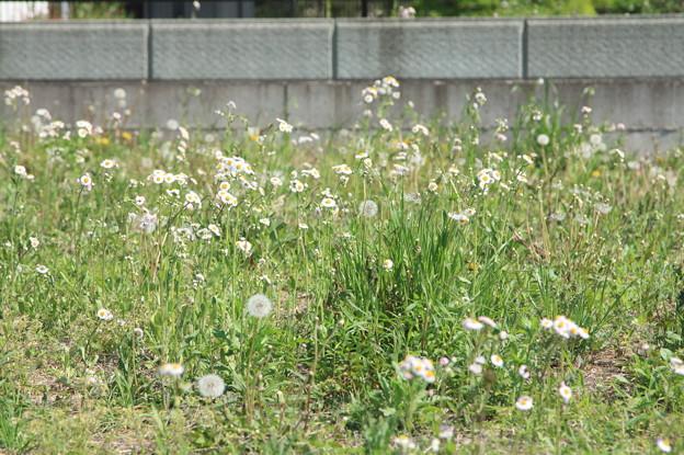 たんぽぽとそばの花