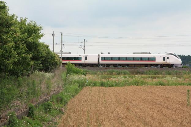 写真: 麦畑を行くE657系 (16)