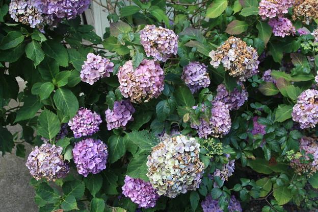 枯れかけた紫陽花