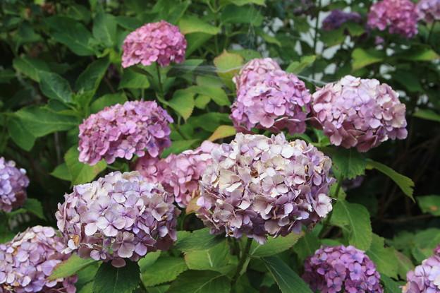 枯れかけた紫陽花 (2)