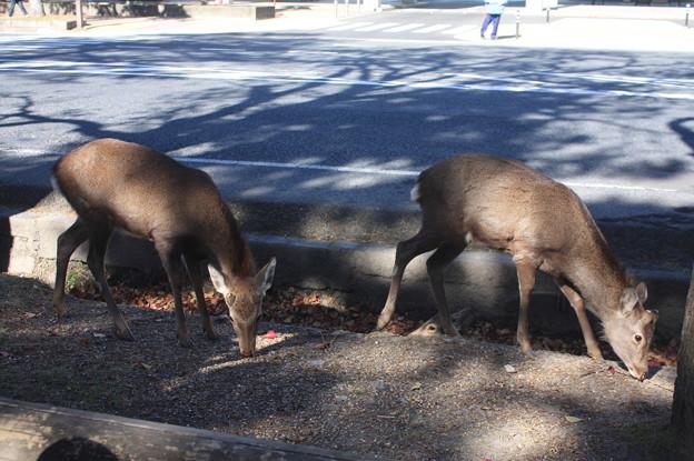 奈良公園の鹿 14
