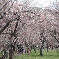Photos: 水戸の梅まつり 偕楽園 20190317_95