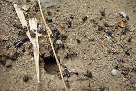 おびただしいアリの死骸が……