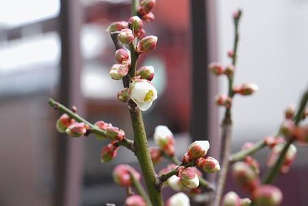 白梅が開花へ!
