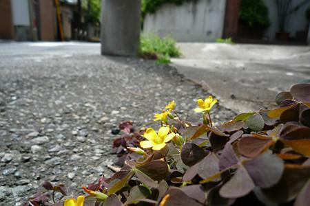 コンクリートの上にも花