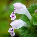 白花ホトケノザ