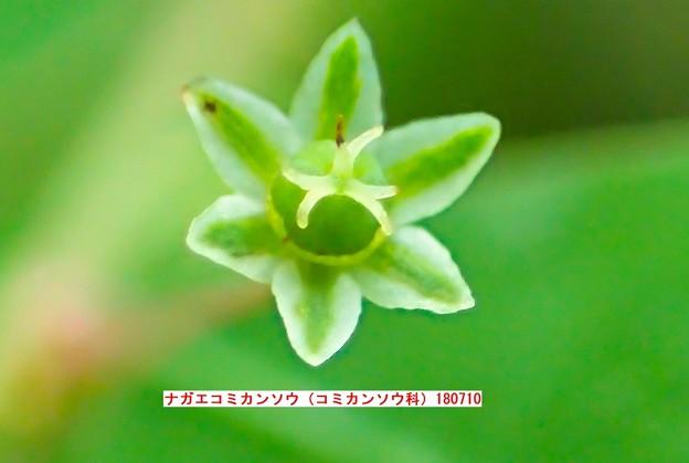 写真: ナガエコミカンソウの花