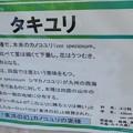 写真: タキユリ説明