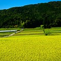 Photos: 稲熟るる頃