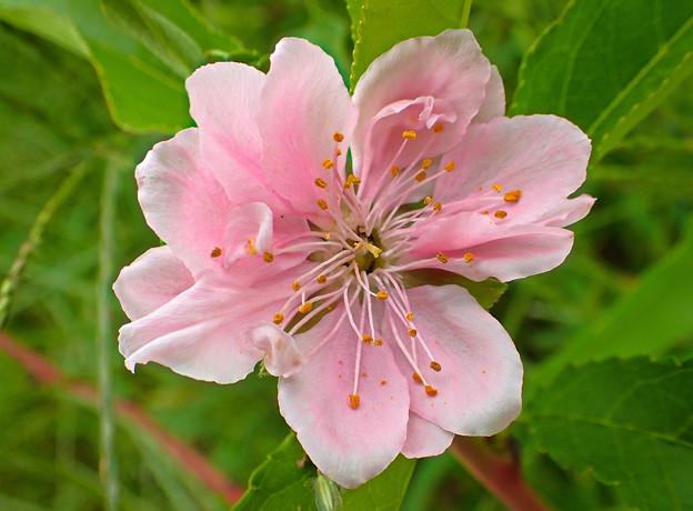 桃の花だったかな