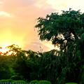 残照と祇園の名桜