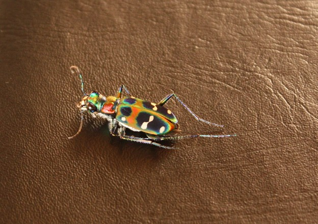 昆虫界の宝石!