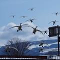 大沼公園 白鳥