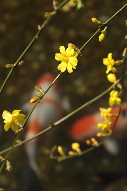 Photos: Japanese jasmine