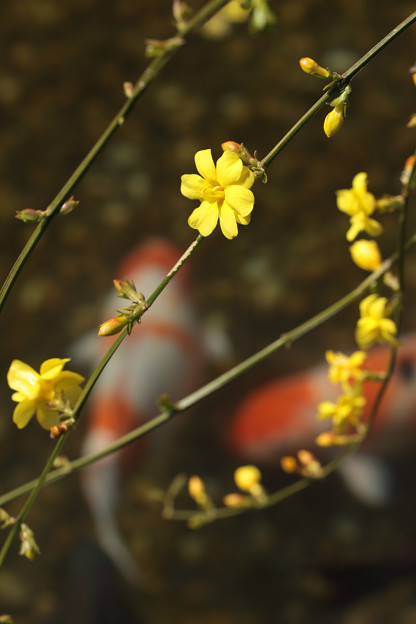 Japanese jasmine