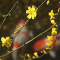 Photos: Japanese jasmine