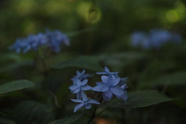 Photos: ヤマアジサイ