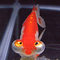 金魚大好き♪