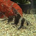 Photos: エンツイ(Myxocyprinus asiaticus):「長江の美人魚」と称される中国の魚