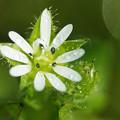 写真: ハコベの花( ^ω^)・・・