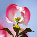 花水木がきれい・・( ^ω^)・・・