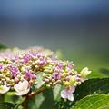 写真: 咲きはめる・・( ^ω^)・・・