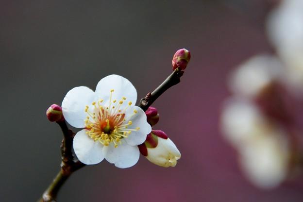 京王百草園の白梅