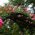 写真: 薔薇の架け橋