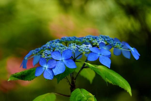 写真: 皐月と額紫陽花