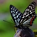 Photos: 蝶は盆栽が好き