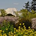 昭和記念公園から見た富士山