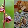 Photos: ポポーの花