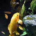 Photos: 鯉の岩登り