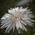 モモイロタンポポ白花