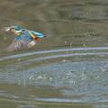 写真: お魚ゲットで飛び去りなカワセミくん♂