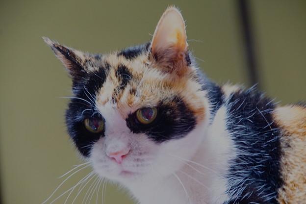 三毛猫さま