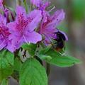 訪花昆虫 マルハナバチ