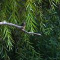 枝にカワセミ幼鳥ちゃん 大阪◇旭区
