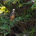 写真: 枝にカワセミ幼鳥ちゃん 大阪/旭区