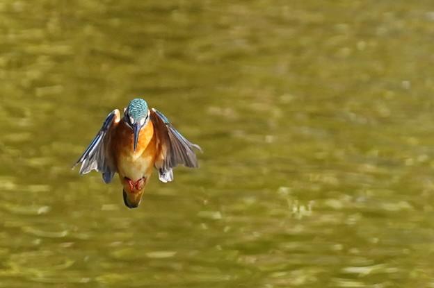 空中停止飛行なカワセミちゃん