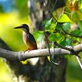 枝にカワセミ幼鳥ちゃん