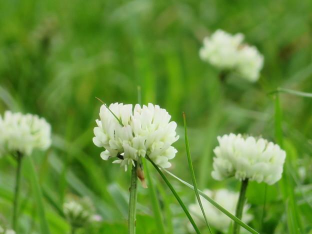写真: シロツメクサの花が咲いたら~♪
