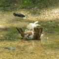 写真: コケた…みたいな…水浴び…(笑笑)