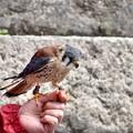 Photos: 手乗りチョウゲンボウ(幼鳥)